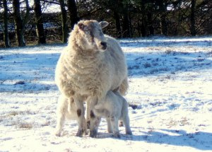 Larkin First Sight lambs in snow