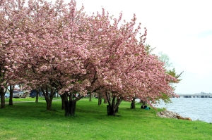 Housman Cherry Blossom