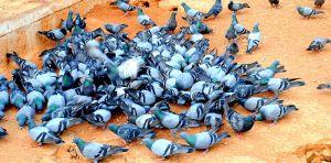 pigeons-james-henry