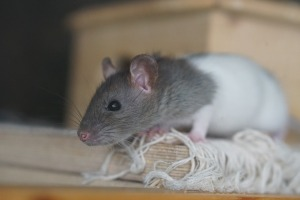cute-rat-picture-poetry