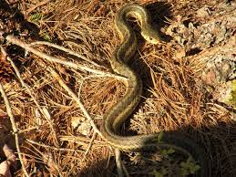 snake-narrow-fellow-in-the-grass
